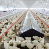 Automatic Poultry Farm Equipment for Breeder Chicken