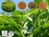 Green Tea Extract, Black Tea Extract, Oolong Tea Extract, Instant Green Tea, Polyphenols