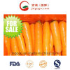 New Crop Fresh Carrot for Exporting (S grade and M grade)