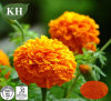 Supply High Quality Marigold Extract