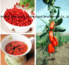 Excellent Dried Goji Berry From Ningxia, China