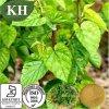 Mulberry Leaf Extract, 1-Deoxynojirimycin, Dnj 1% to 30%
