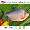 Top Quality Frozen Whole Red Pomfret