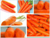 New Crop Fresh Exporting Carrot