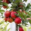 Fresh Michila Apple Red Beautiful Sweet
