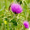Milk Thistle Extract Silymarin 80% Liver Protection Pharmaceutical Grade