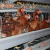 Hot Sell High Quality Automatic Chicken Cage System in Pakistan