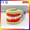 Standard Tooth Jaws Model, Soft Gum Removable Dental Jaw Teeth Model