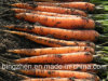 2017 New Crops China Delicious Fresh Carrot