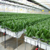 Galvanized Steel Frame PC Sheet Hydroponic Systems Green House