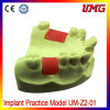 Ce Approval Hot Sale and High Quality Dental Teeth Model