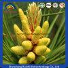 Organic Dietary Supplement Pine Pollen