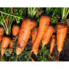 2019 Shandong Province Crop Fresh Carrot with Good Quality