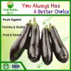 Supply Purple Eggplant Fresh Vegetables From China