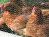 Chicken Hexagonal Wire Mesh (factory)