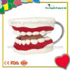 Medical Dental Plastic Human Tooth Model