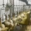 Qingdao Raniche Butchery Equipment Prices Cleaning Machine Conveyor Chicken Butcher