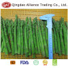 Frozen Green Asparagus with Top Quality