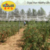 Medlar Glycine Betaine Vitamina Polissacarídeos Wolfberrry Fruit