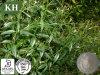 Estratto di Andrographolide 5%-99% Andrographis Paniculata