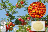 Acerolaのチェリーのエキス25%のビタミンC、Ascordicの酸