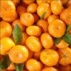 Mandarino fresco