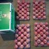 Il nuovo raccolto Qinguan Apple sta venendo