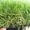 Herbe artificielle synthétique de couleurs de la décoration 4 d'horizontal pour le jardin ou la maison ou public