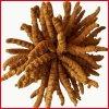 Polysaccharides normaux de l'extrait 30% de Cordyceps