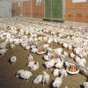 Alta qualità Automatic Poultry Equipment per Broiler Poultry House