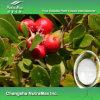 Выдержка листьев UVA Ursi, выдержка толокнянки (20%~99% Arbutin, кислота 25%~50% Ursolic)