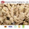 Gengibre gordo chinês fresco da qualidade superior