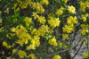 ForsythiaのSuspensaのエキスPhillyrin CAS第487-41-2