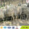 Rete fissa della maglia del bestiame/rete fissa file di /Cow della rete fissa