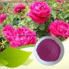 Poudre d'extrait de fleur de Rose (4 : 1, 10:1, 20 : 1)