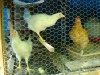 2 鶏の網