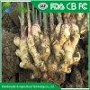 Venda por grosso de gengibre fresco orgânico Preço a partir de Shandong