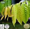 Estratto naturale Mangiferin 80%, 95% del foglio del mango di 100% da HPLC