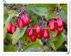Polvere dell'estratto di Officinalis della cornina del fornitore/dell'estratto frutta del Dogwood