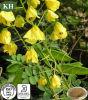 Natürliches hochwertiges Kassie Nomane Auszug-Flavon 8% UV