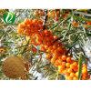100% Nature l'argousier extrait de fruits en poudre