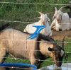 Rete fissa galvanizzata dell'azienda agricola per i cervi ed il bestiame