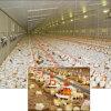 Conjunto completo de exploração avícola Máquinas automáticas de frango de corte