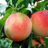 2016新しい- Natutal Peach Juice PowderかPeach Powder /Peach Extract Powder/Honey Peach Powder