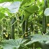 De Meststof van de Landbouw van het Kalium van het aminozuur