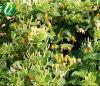 Madressilva extrato ácido Chlorogenic Flores 10%