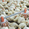 Matériel de volaille pour les poulets à rôtir et le poulet