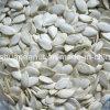 Семена тыквы совершенного снежка урожая качества нового белые