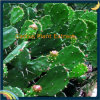 Pur et naturel extrait de cactus Hoodia Gordonii