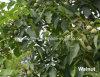Vert et de la peau mince de montagne Taihang organique en noyer et Inshell noyer.